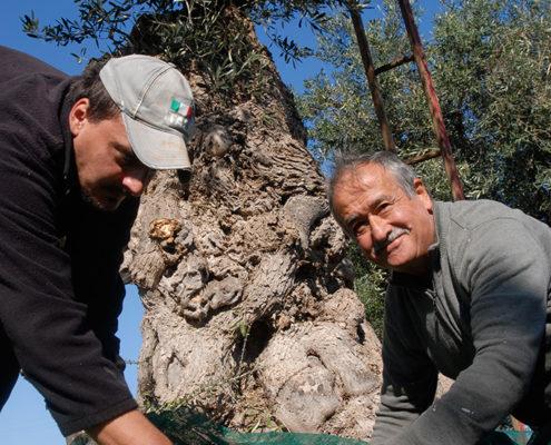 masseria garrappa, la raccolta delle olive